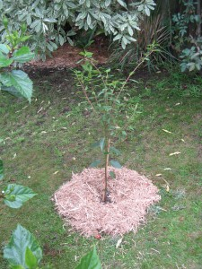 Maqui Berry Tree